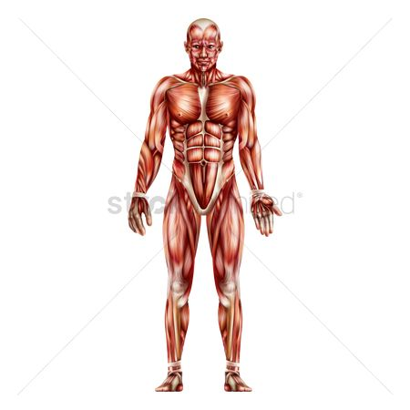 Vectors : Anatomy of human muscular system