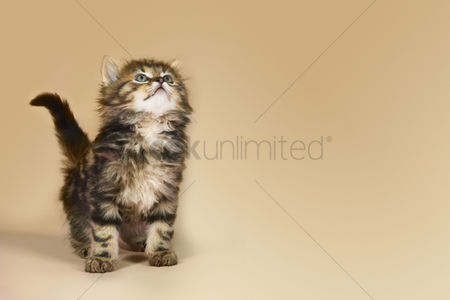Animal : Kitten looking up studio shot with brown background