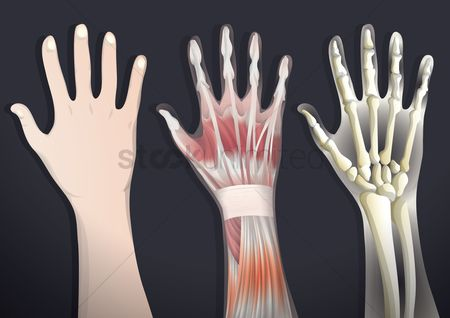 Arm : Anatomy of hand
