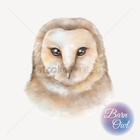Head : Barn owl
