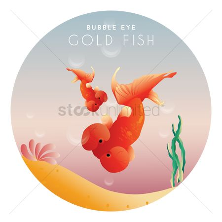 Marine life : Bubble eye gold fish