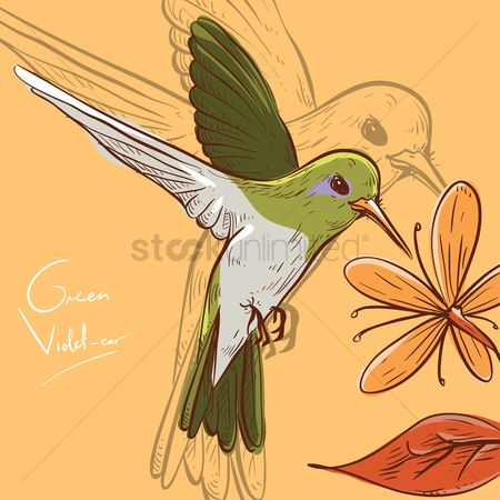 Birds : Green violet-ear