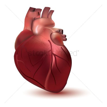 Free heart anatomy stock vectors stockunlimited 1523879 heart anatomy heart ccuart Gallery