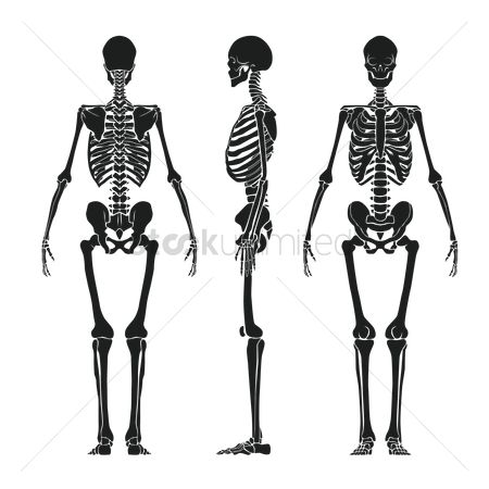 Backview : Human skeleton