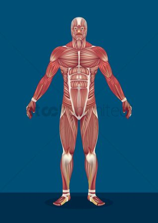 Humans : Male human body muscles