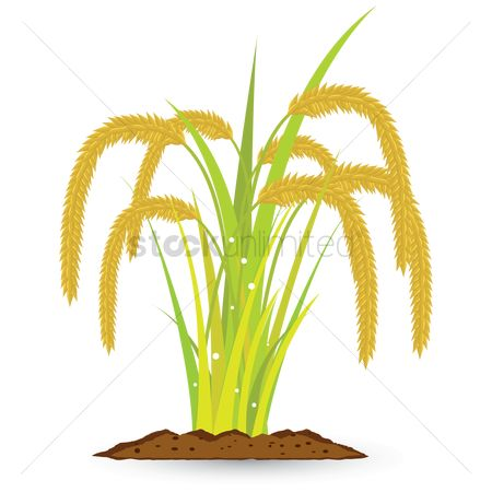 Agriculture : Wheat grains plant