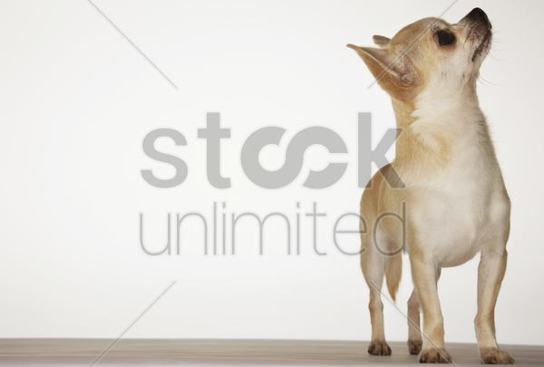 chihuahua standing looking up front view stock photo
