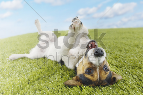 jack russell terrier lying on back in grass extending paw stock photo