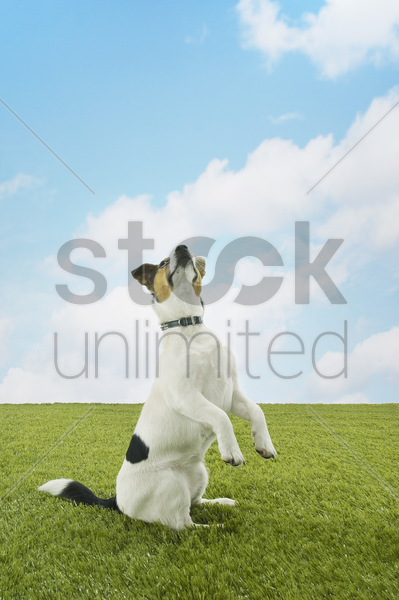 jack russell terrier standing on hind legs stock photo