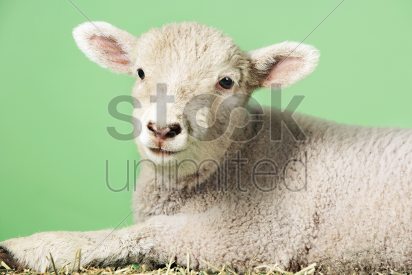 lamb on green background stock photo