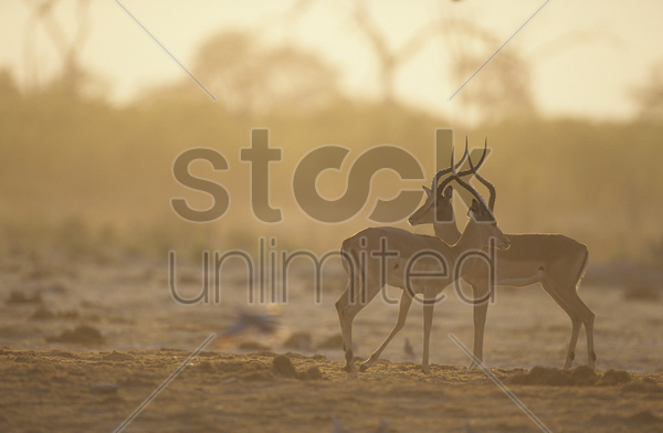 two gazelle side by side on savannah stock photo