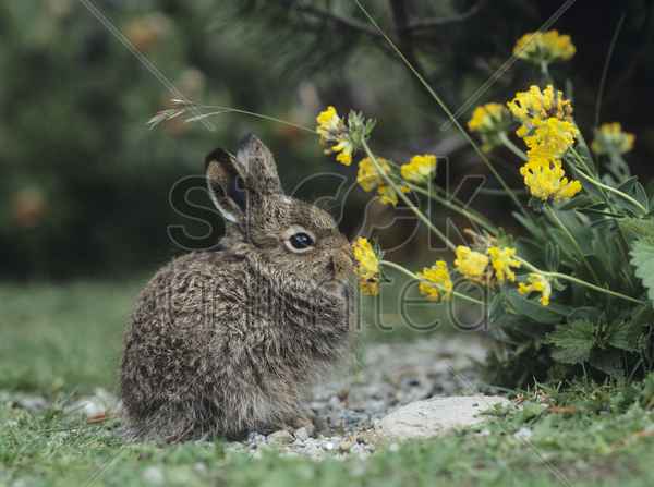young hare eating yellow clover stock photo