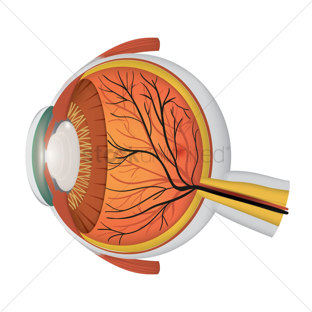 Anatomy of an eyeball Vector Image - 1863551 | StockUnlimited
