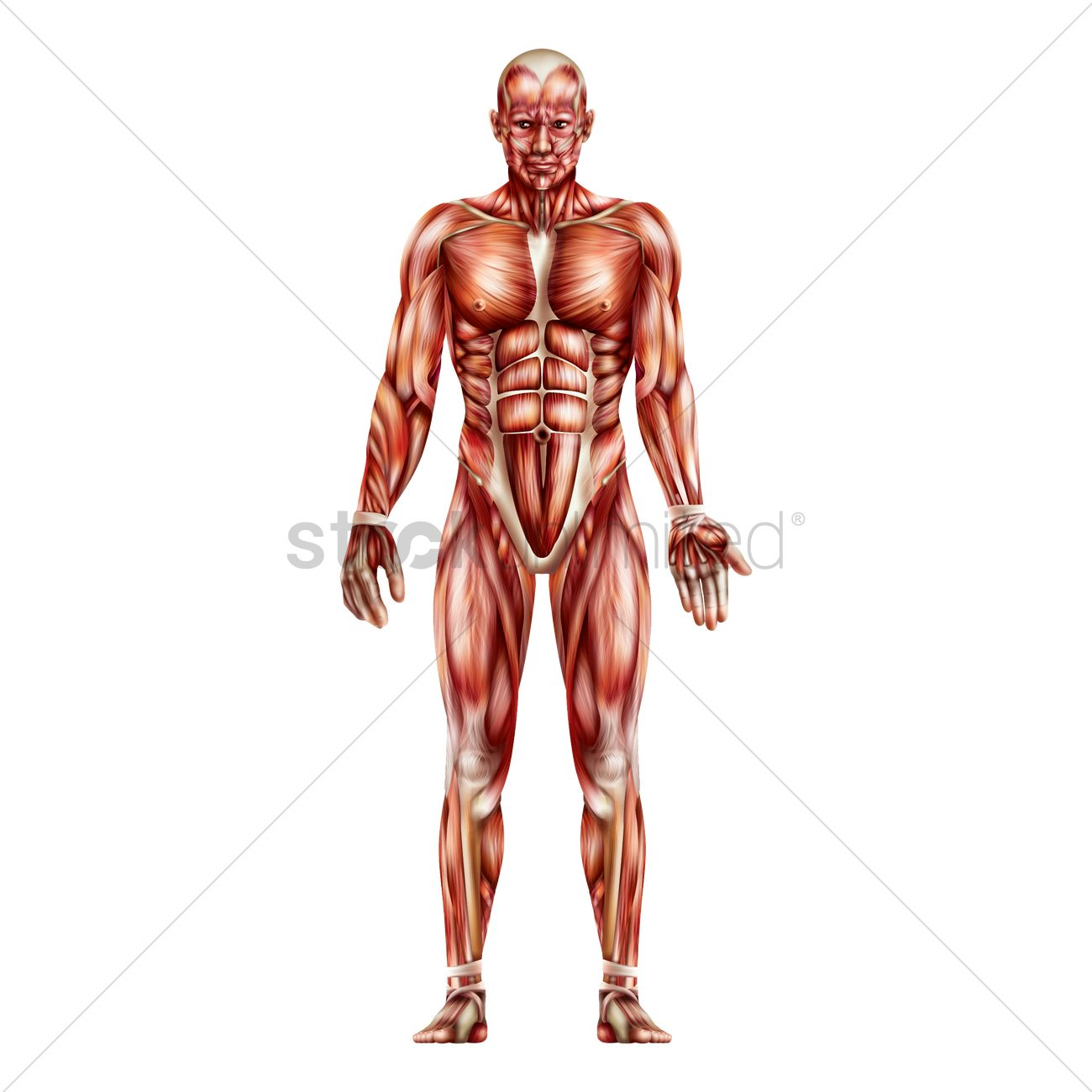 Anatomy Of Human Muscular System Vector Image 1814983 Stockunlimited