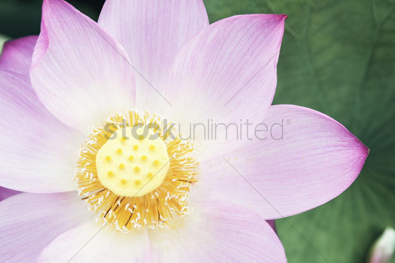 Close Up Of Pink Lotus Flower China Stock Photo 2106987
