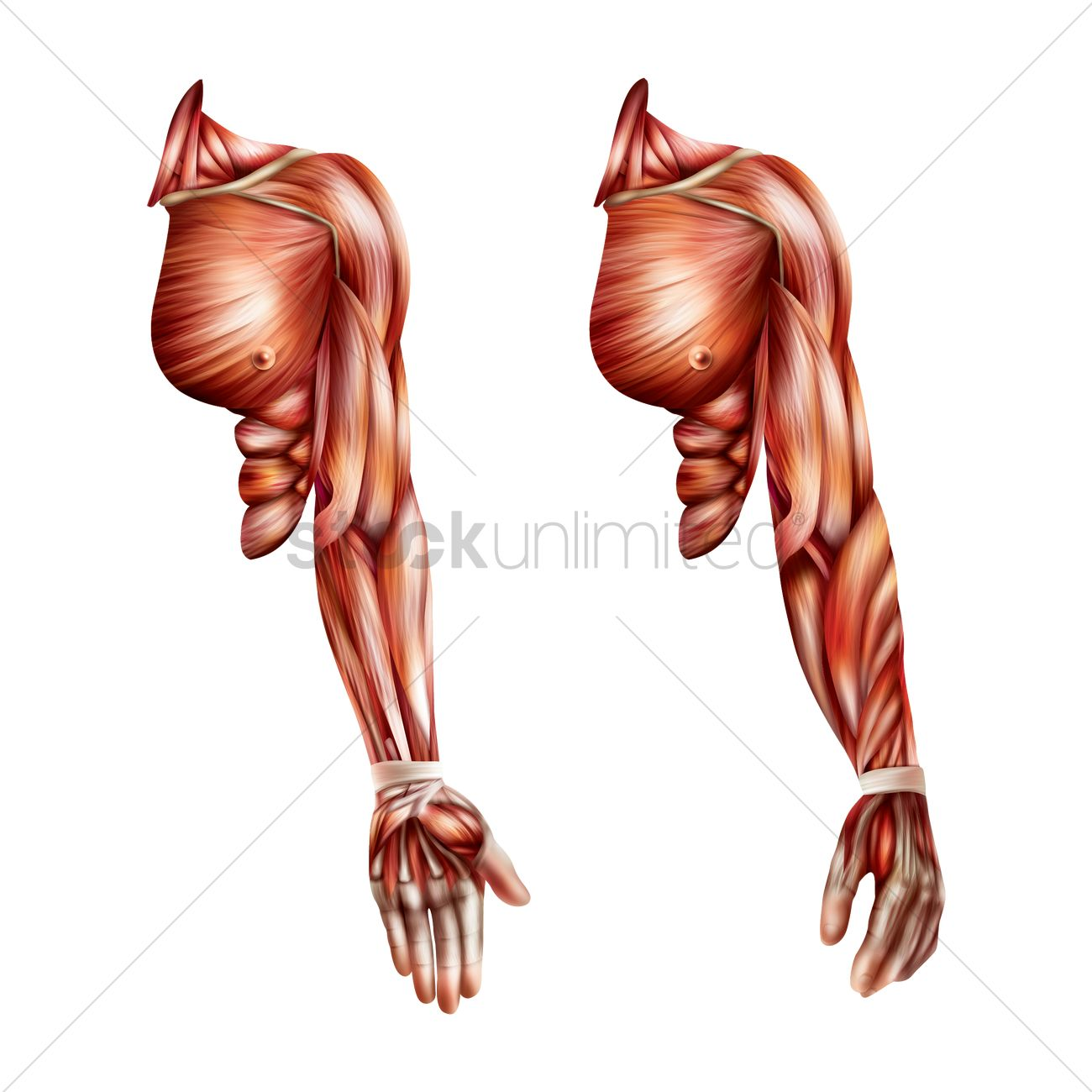 Hand muscles Vector Image - 1814975 | StockUnlimited