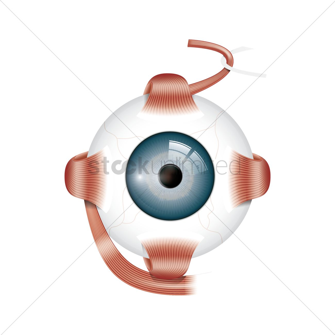 Human eye anatomy Vector Image - 1815155 | StockUnlimited