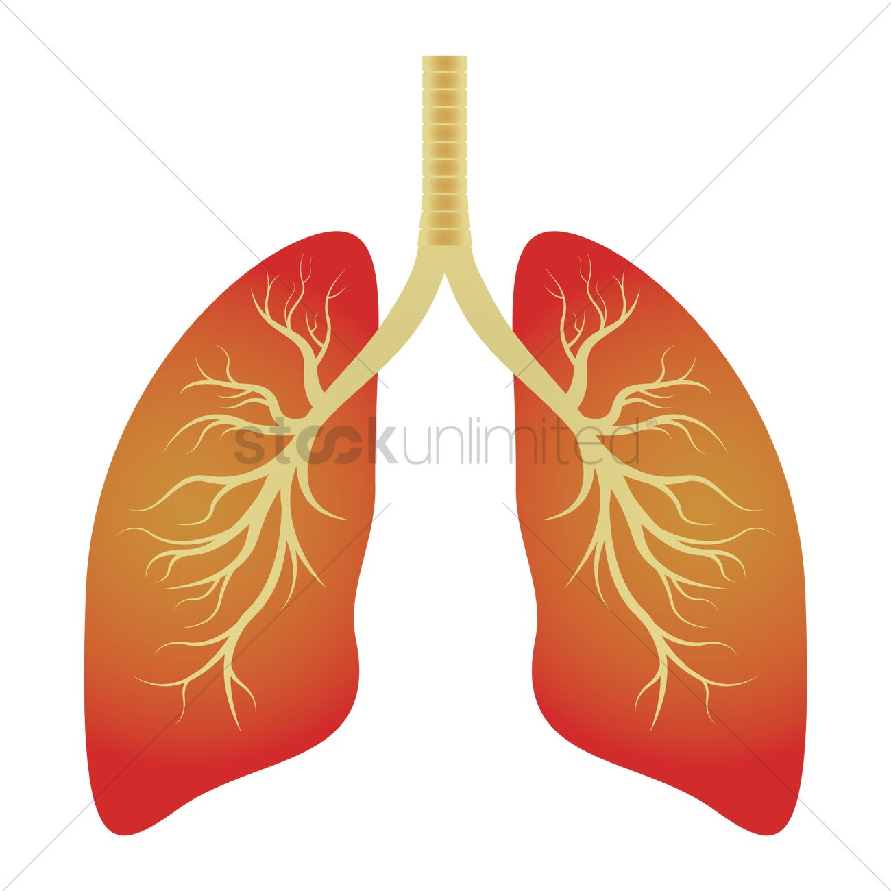 Human lungs Vector Image - 1866167 | StockUnlimited