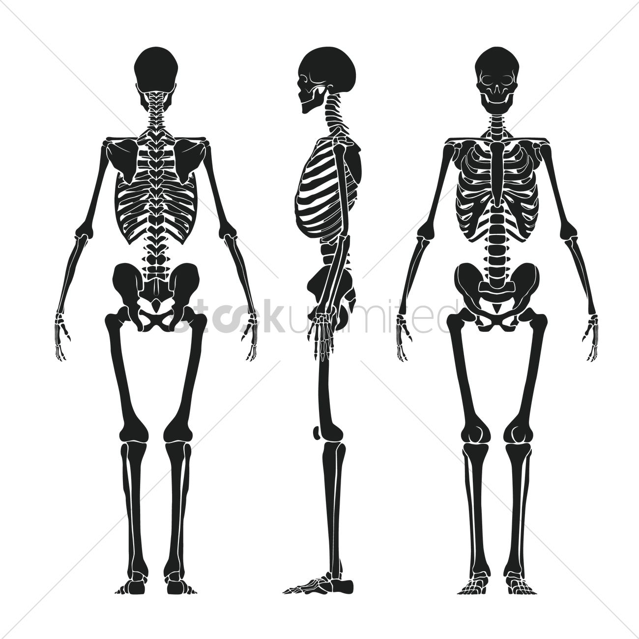 Human Skeleton Vector Image 1516131 Stockunlimited