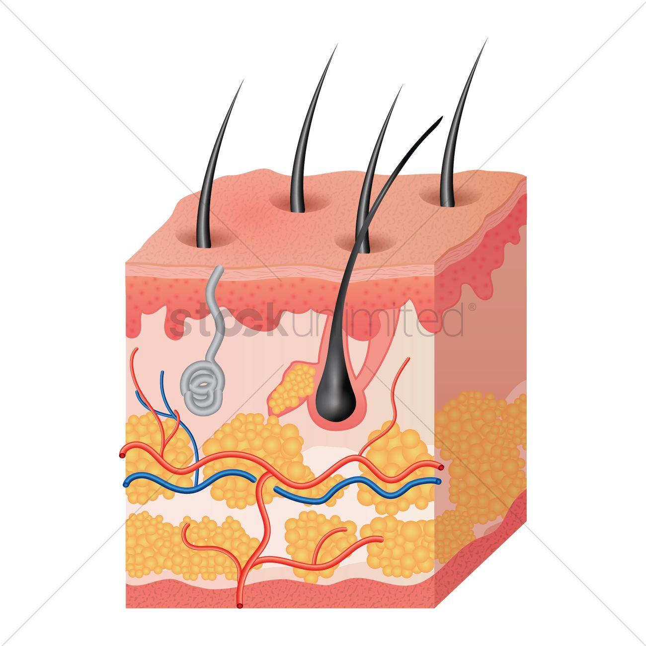 Free Skin Anatomy Stock Vectors Stockunlimited