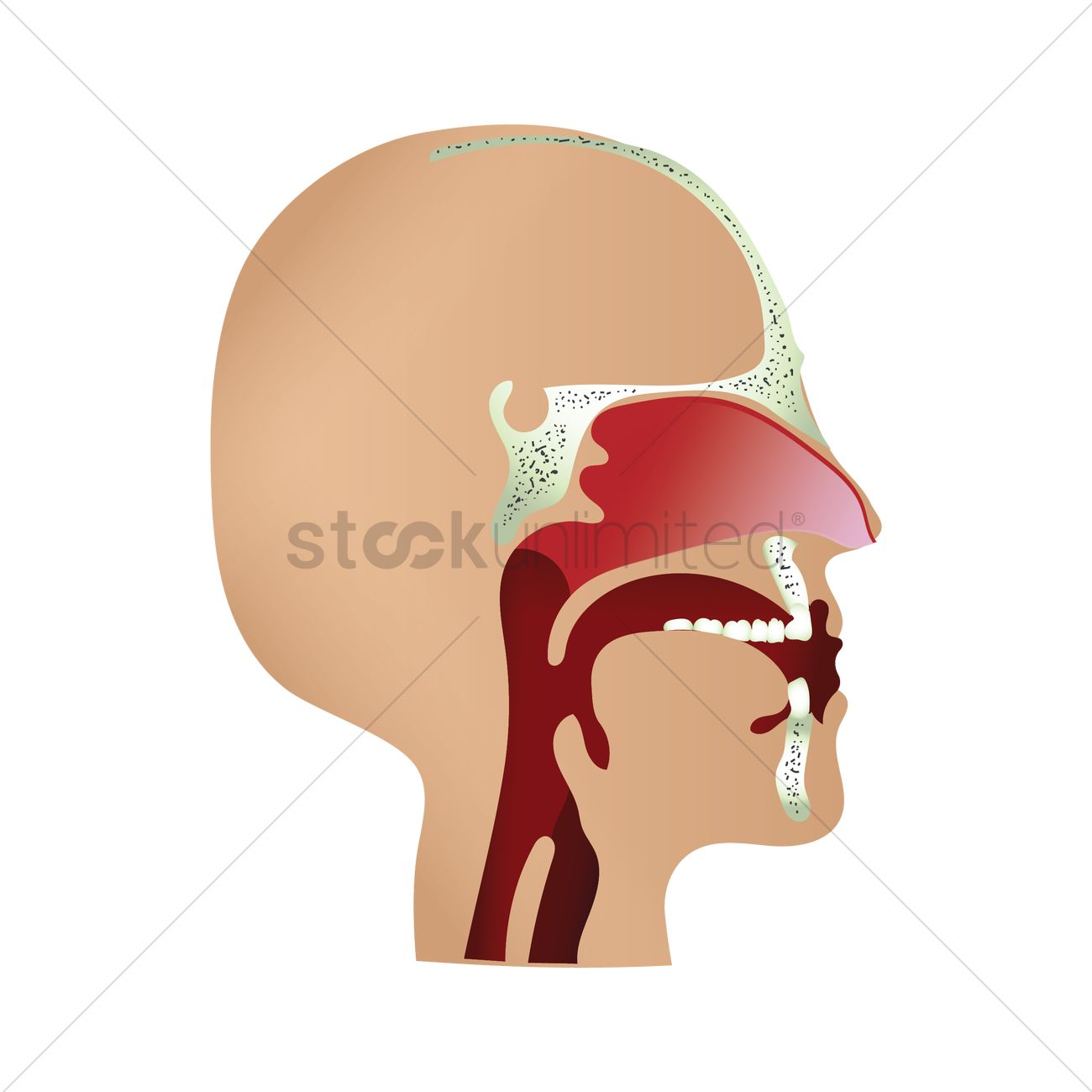 Human throat anatomy Vector Image - 1759223 | StockUnlimited