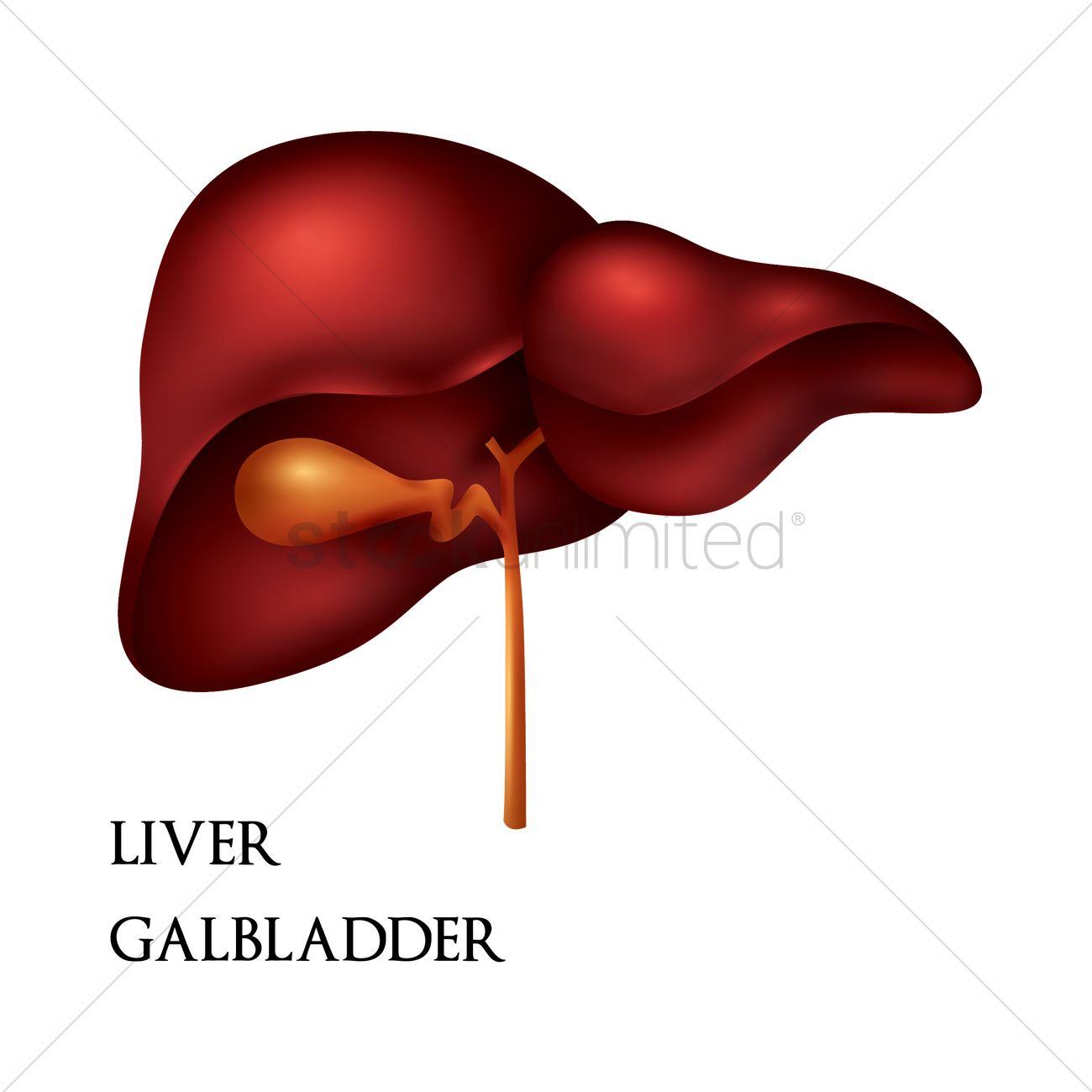 Liver Gallbladder Vector Image 1807891 Stockunlimited