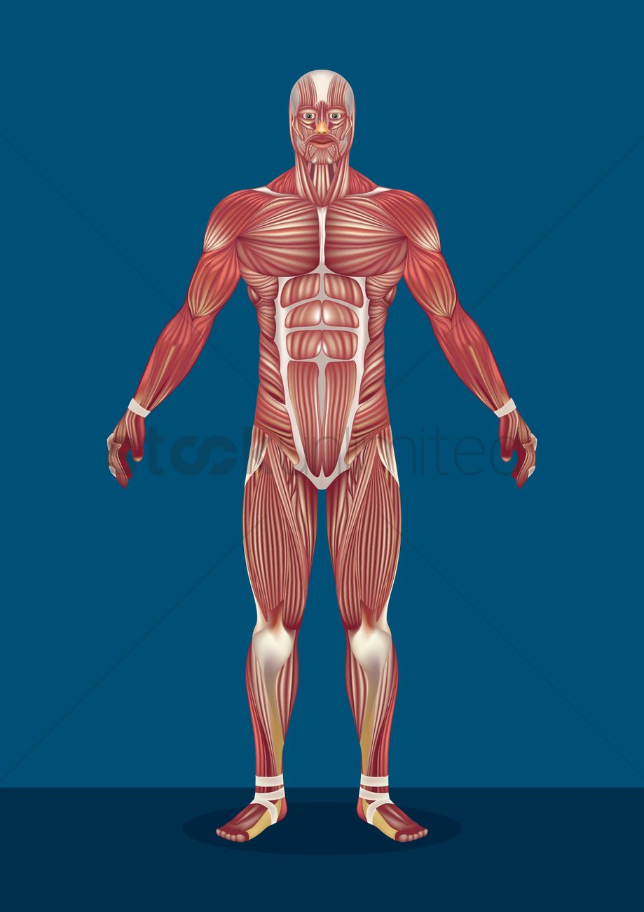 Male human body muscles Vector Image - 1590163 | StockUnlimited