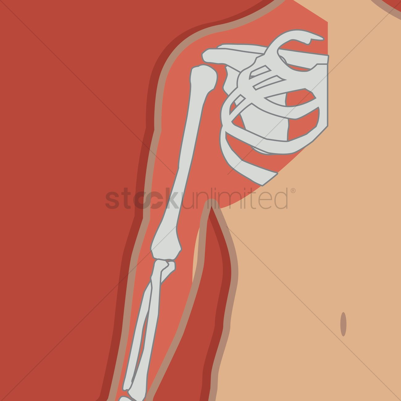 Free Shoulder joint anatomy bones Vector Image - 1277367 ...