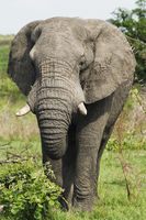Adult african elephant close-up