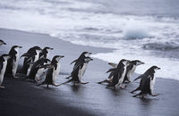 Chinstrap penguins  pygoscelis antarcticus  colony walking into sea