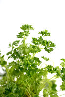 Close up of parsley on white background