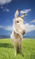 Donkey in green field