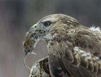 Goshawk holding mouse in beak close-up