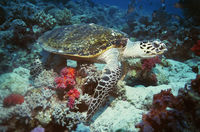 Green turtle on coral reef