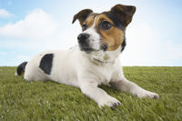Jack russell terrier lying in grass head up