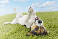 Popular : Jack russell terrier lying on back in grass extending paw
