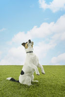 Popular : Jack russell terrier standing on hind legs