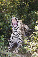 Leopard  panthera pardus  lying in bushes yawning