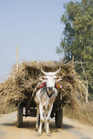Ox cart loaded with grass  gurgaon  haryana  india