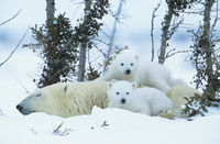 Polar bear cubs with mother in snow yukon