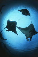 Raja ampat indonesia pacific ocean silhouettes of manta rays  manta birostris  low angle view
