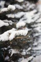 Snow covering pine leaves during winter