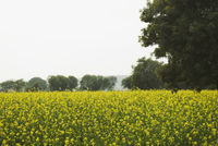 Trees in a mustard field  sohna  gurgaon  haryana  india