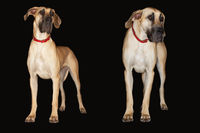 Two brazilian mastiffs  fila brasileiro  standing side by side front view