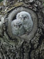 Two owlets in tree knot