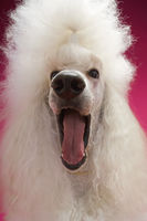 White poodle close-up
