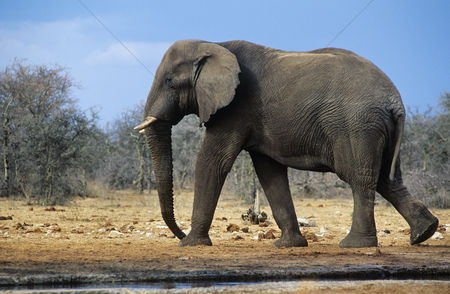 Animals in the wild : African elephant  loxodonta africana  walking on savannah