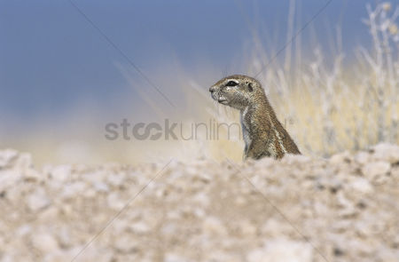Alert : Alert ground squirrel