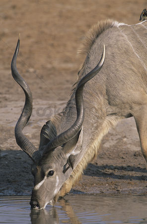African wildlife : Antelope drinking from pond