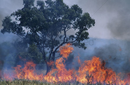 Grass : Australia bush fire